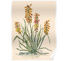 Kniphofia (Red Hot Poker) Poster