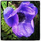 Purple Rain #1; Anemone coronaria, La Mirada,  CA USA by leih2008