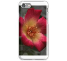 Single rose, single bloom iPhone Case/Skin