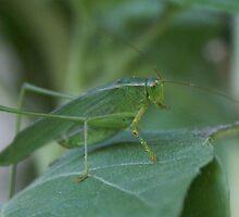 Green Grasshopper; Fork-Tailed Katydid (Scudderia Mexicana) La Mirada, CA U.S.A.  by leih2008