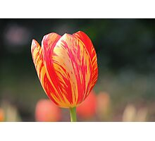 Yellow and red tulip Photographic Print