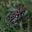 Young Western Cape leopard toad by richeriley