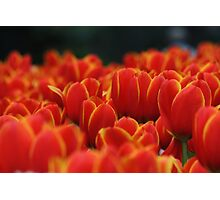 Red tulips with yellow edges Photographic Print