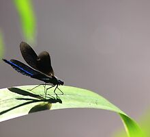 Banded demoiselle by turniptowers