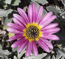 Mauve Daisy by Sandy1949