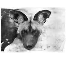 African Painted Wolf  (Lycaon pictus) - Okavango Delta, Botswana. Poster