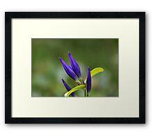 Willow gentian (Gentiana asclepiadea) Framed Print