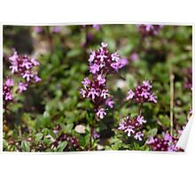 Mother of thyme flowers (Thymus praecox) Poster
