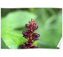 Flowers of the broomrape Orobanche gracilis Poster