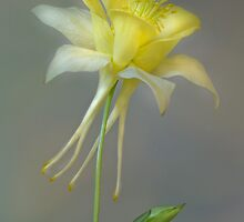 Aquilegia by Jane Dibnah