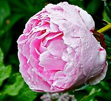 In the Rose Garden (1) by Hayley Musson