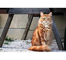 My Little Orange Tabby Photographic Print