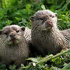 River Otters in Cheshire, England by AnnDixon