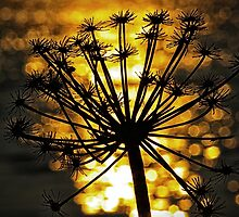 Seedhead Silhouetted against a River of Gold by MandyJervis