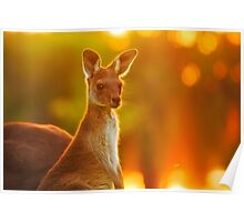 Sunset Joey, Yanchep National Park Poster
