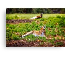 Just Chillin, Yanchep National Park Canvas Print