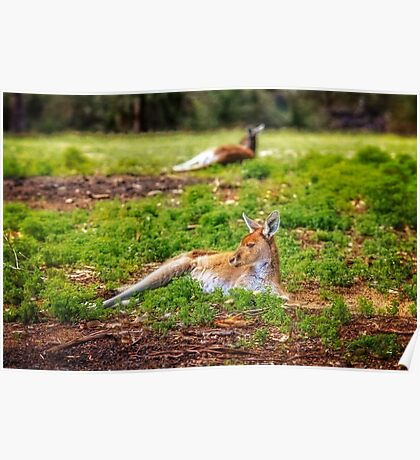 Just Chillin, Yanchep National Park Poster