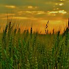Young Wheat at Sunset by Dorothy  Pinder