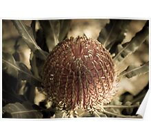 Aged Banksia Poster