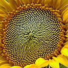Sunflower - Up Close by AnnDixon