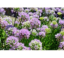 Many pink purple round flowers in the garden Photographic Print