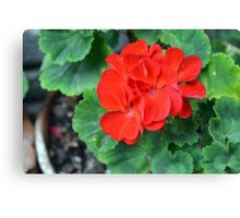 Red flower in the pot with many green leaves Canvas Print