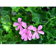 Pink flowers on green leaves background Photographic Print