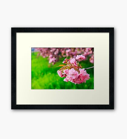 pink flowers of sakura branches above grass Framed Print