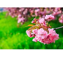 pink flowers of sakura branches above grass Photographic Print
