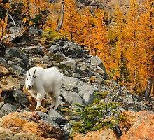 Mountain Goat and Golden Larches by lkamansky