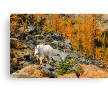 Mountain Goat and Golden Larches Canvas Print