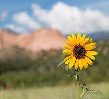 Sunflower in the Garden of the Gods by Shea Oliver