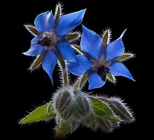 Borage by hanspeters