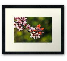flowers of apple tree on a blur background Framed Print