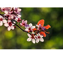 flowers of apple tree on a blur background Photographic Print