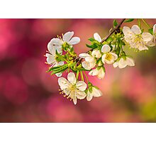 flowers of apple tree on a bulr background Photographic Print