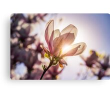 magnolia flowers on a blury background at sunset Canvas Print