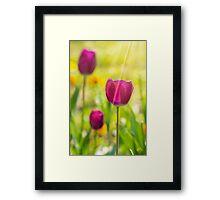 purple tulip on color blurred background  Framed Print