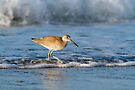 Willet in the Waves by Kenneth Keifer