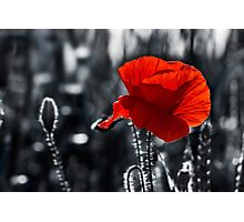 big fresh poppy in the field Photographic Print