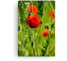 big fresh poppy in the field Canvas Print