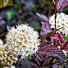 Common Ninebark in my Front Yard by Roger Passman
