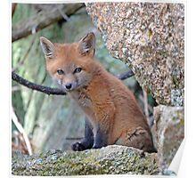Fox Wildlife Poster