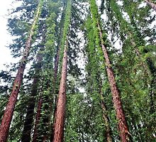 Redwoods by Stephen Burke