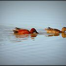 Cinnamon Teal Pair  by Kimberly Chadwick