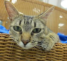 Tabby Cat Waiting for adoption by Margaret Miller