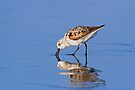 Foraging Sanderling on the Beach by Kenneth Keifer