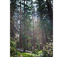 Towering Pines Photographic Print