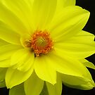 Bright Yellow Dahlia  by lorilee