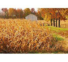 Autumn Corn Photographic Print